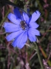 Chickory Bee
